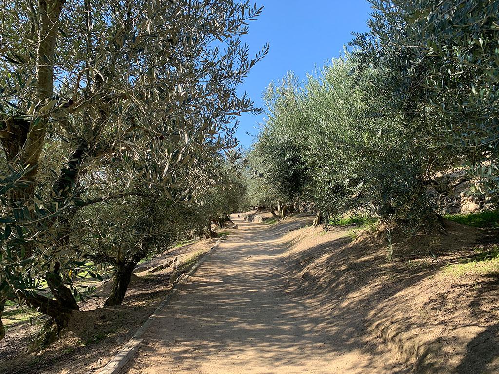 オリーブの路