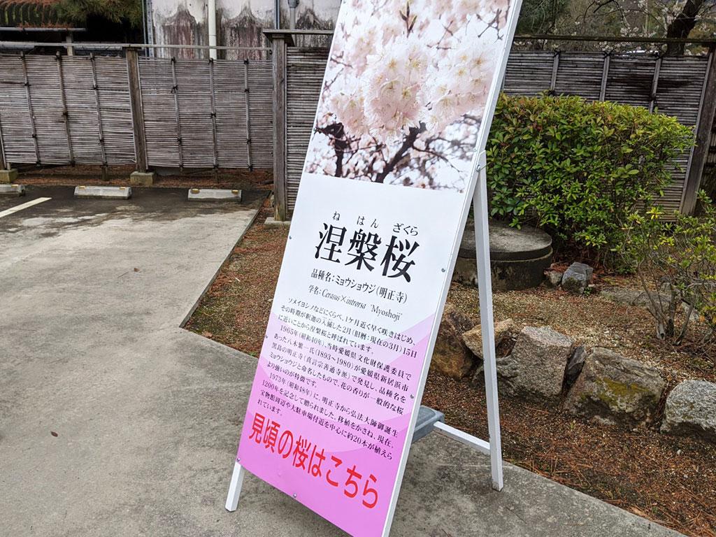 涅槃桜とは
