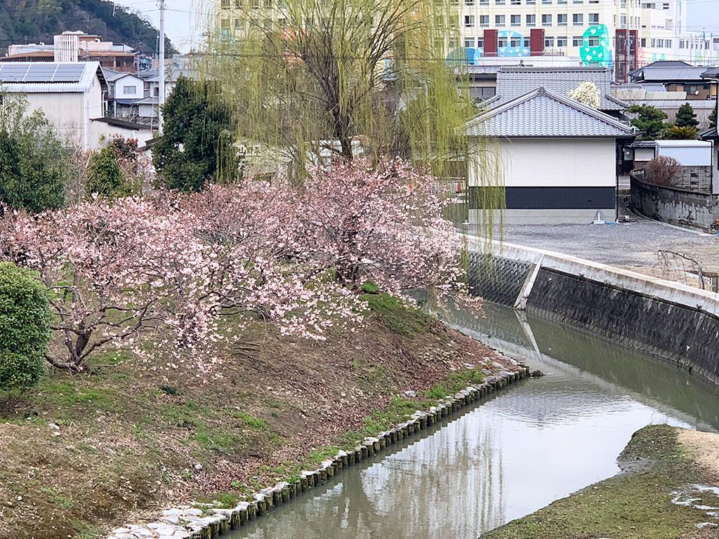川沿いの涅槃桜02